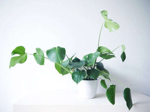 Philodendron Monstera tropical plant for delivery portland oregon