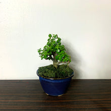 Load image into Gallery viewer, Harmony Bonsai - Small