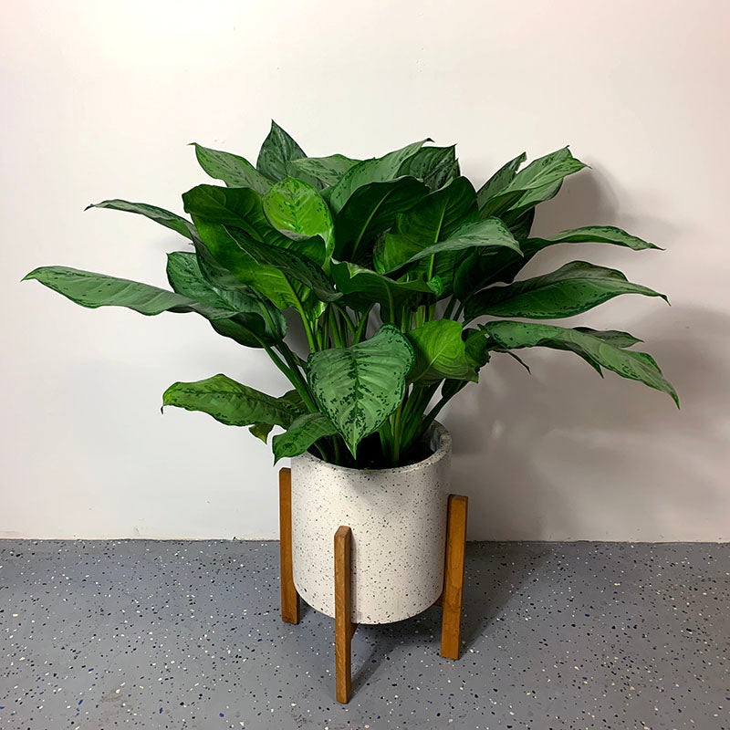 Aglaonema BJ Freeman Plant