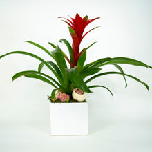 Load image into Gallery viewer, Beautiful Single Bromeliad in white vase