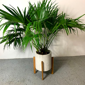 chinese fan palm plant