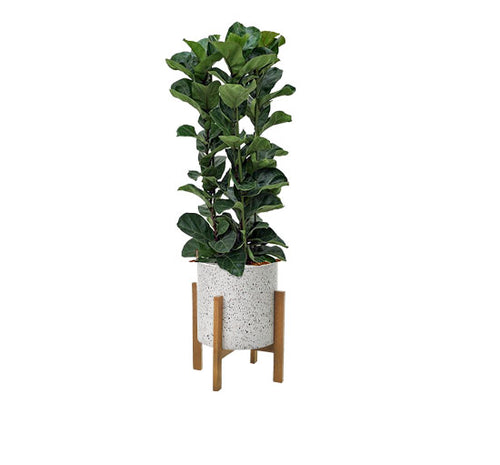 Fiddle Leaf Fig Ficus in cylinder planter