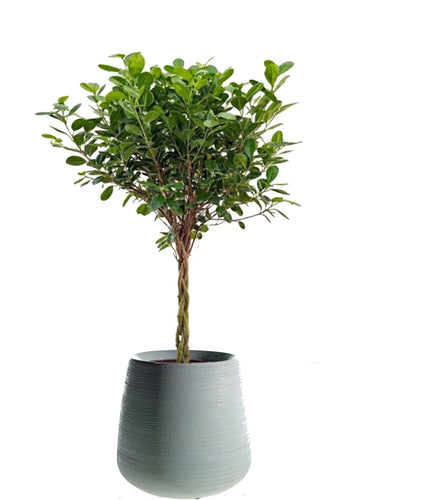 Braided Ficus Daniella in cylinder pot