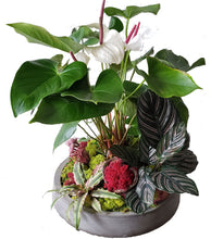 Load image into Gallery viewer, Anthurium arrangement with additional foliage in a concrete container. Foliage includes moss, calathea