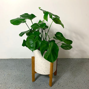 philodendron monstera plant