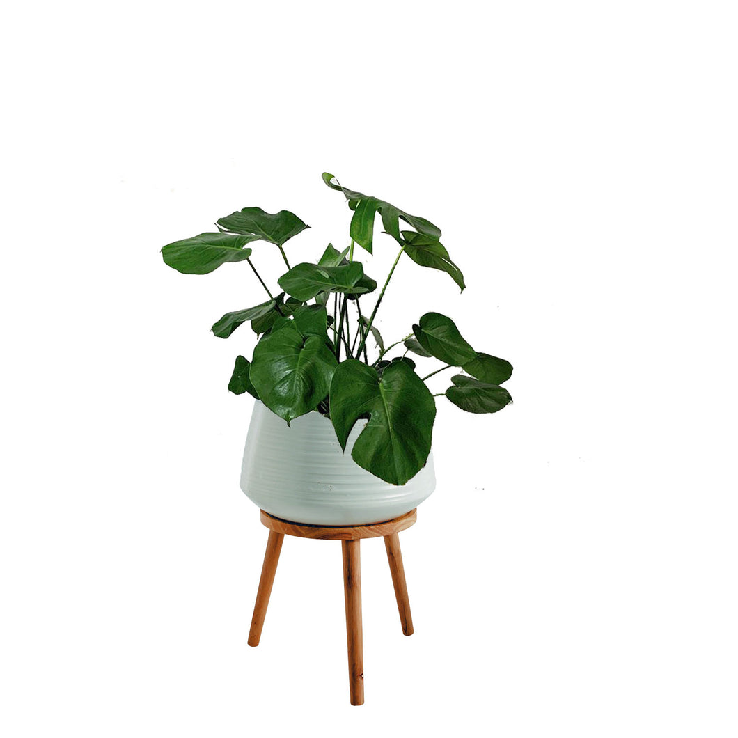 Monstera Philodendron