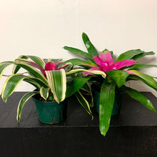 Load image into Gallery viewer, neoregelia plant