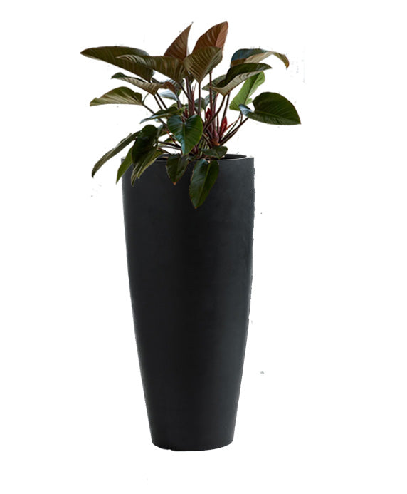 Congo Rojo Philodendron in black planter