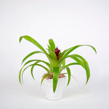 Load image into Gallery viewer, Small Single Bromeliad in White container