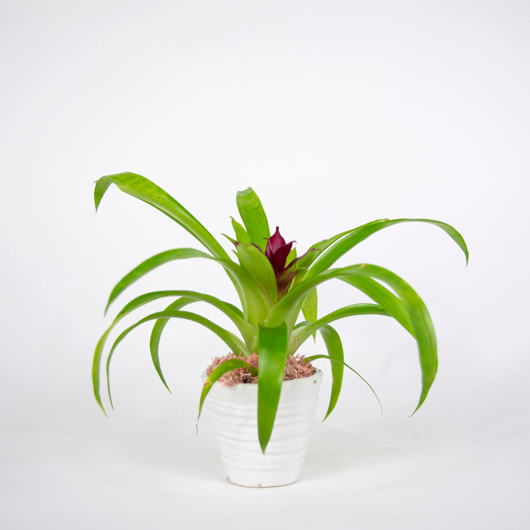 Small Single Bromeliad in White container
