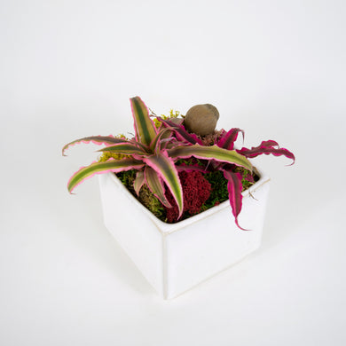 Cryptanthus in small cube container