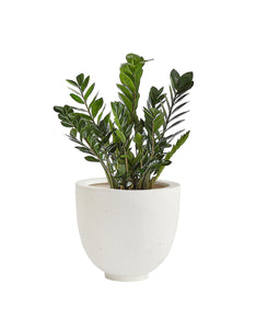 10 inch zz plant in decorative planter