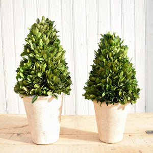 Preserved Boxwood Topiaries