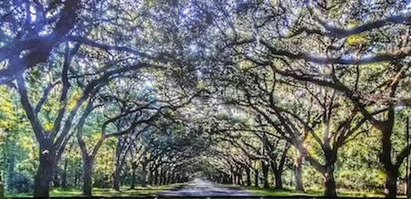 """The Wormsloe Trees"""
