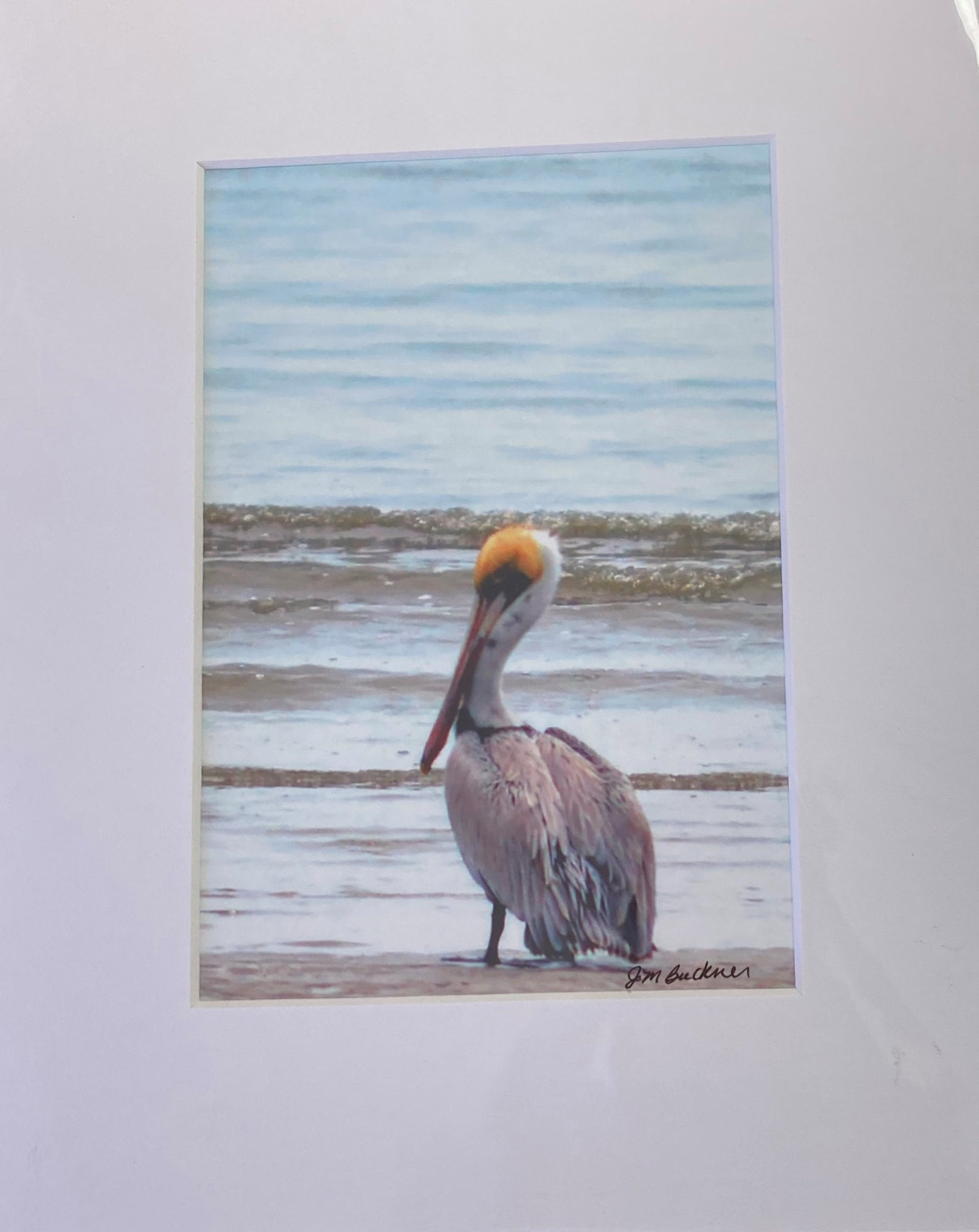 """Pelican "" Matted Photographic Print by Jill Buckner"