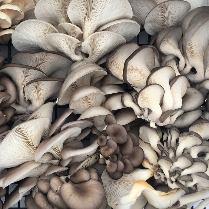 Fresh Oyster Mushrooms (pint)