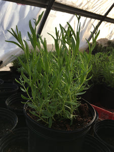 Yearling lavender - drop dead gorgeous - 1 gallon pot - ready for replant