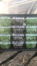 Load image into Gallery viewer, Curly Cress Microgreens (85g pint)