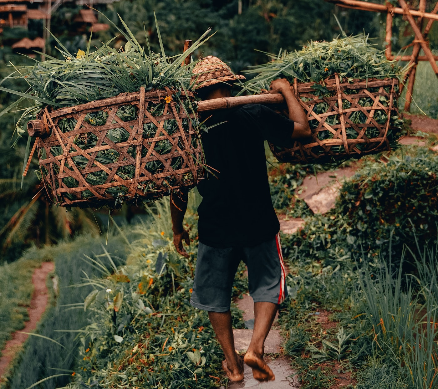 a man carrying green crops on his back