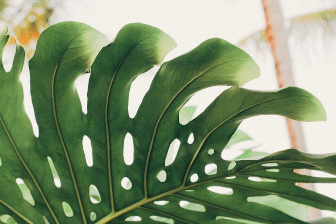 a close up view of a giant monstera green leaf