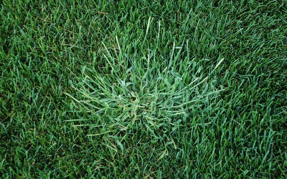 Using Corn Gluten Meal to Reduce the Weeds in Your Lawn