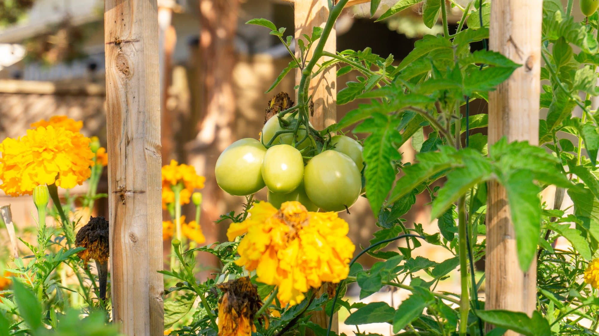Marigolds in my Tomatoes??? A Guide to Companion Planting