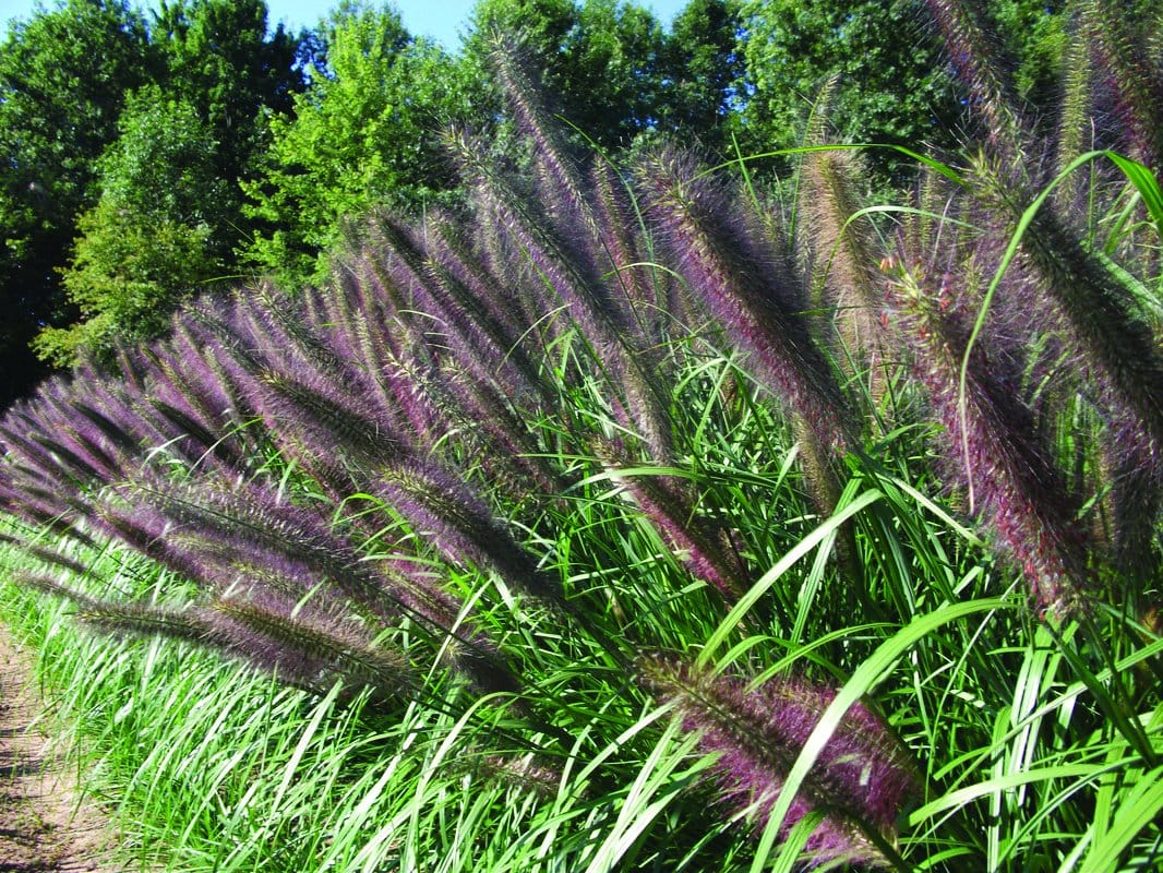 Caring for Ornamental Grasses – When to Trim and How to Divide Them