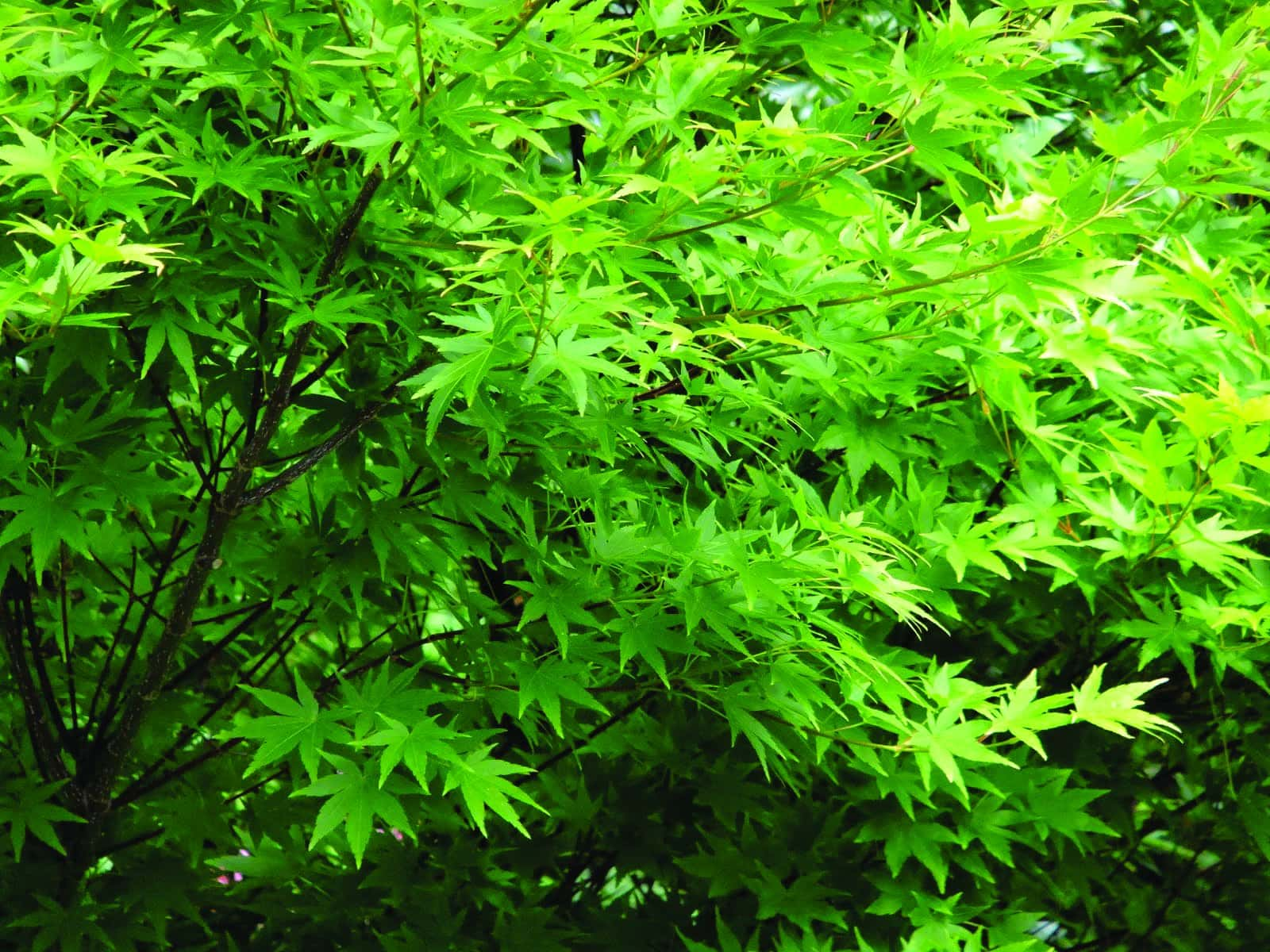 Japanese maple – an Ontario thriller