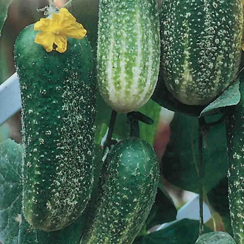Cucumber Morden Early - Barrie's Garden Centre