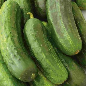 Cucumber National Pickling - Barrie's Garden Centre