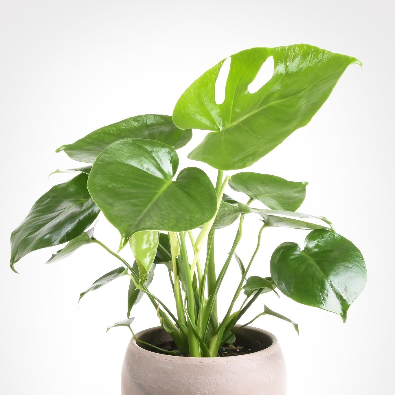 Philodendron - Monstera Deliciosa - Barrie's Garden Centre