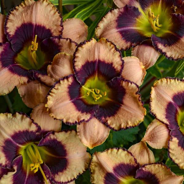 Daylily - Daring Deception - Barrie's Garden Centre