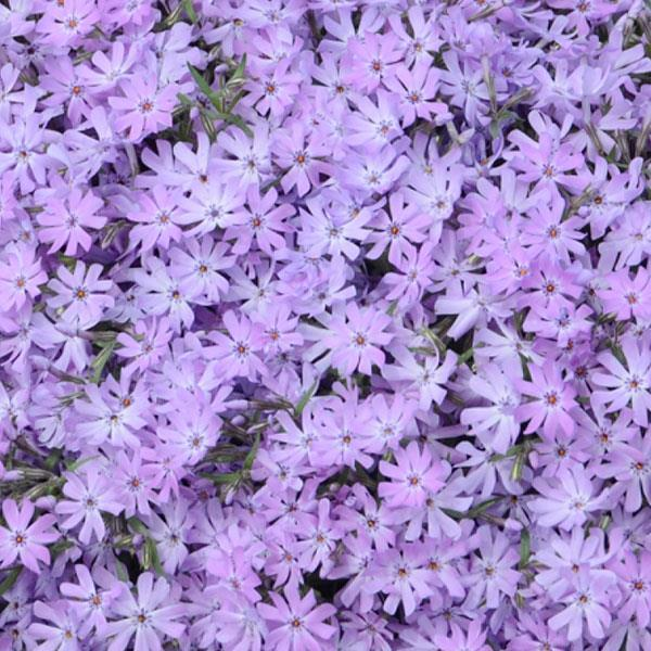 Phlox - Bedazzled Lavender - Barrie's Garden Centre