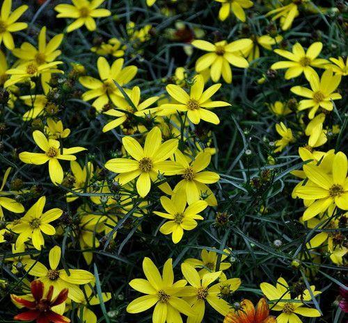 Coreopsis - Mayo Clinic Flower of Hope - Barrie's Garden Centre