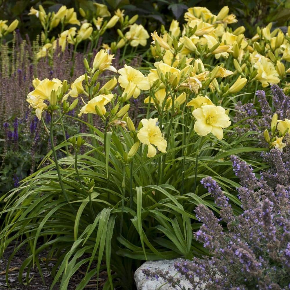 Daylily - Many Varieties Available