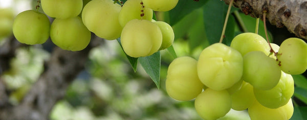 The Benefits of Amalaki (Amla or Indian Gooseberry)