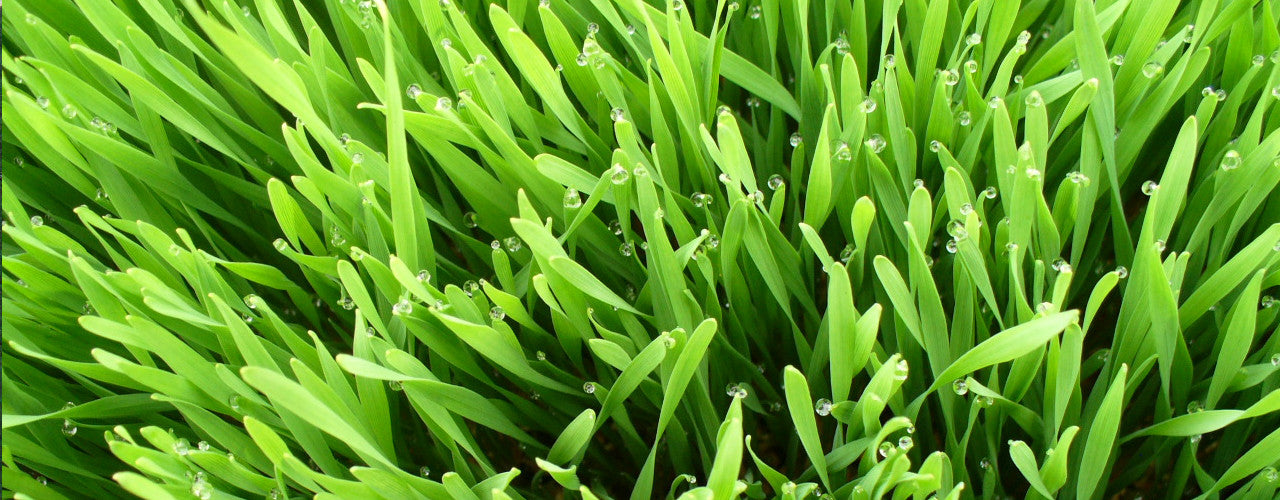 Wheat Grass! Perfect superfood