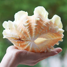 Load image into Gallery viewer, Large Natural Marine Shell 10-12cm Tridacna Clam Conch Home Furnishing Giant Sea