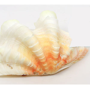 Large Natural Marine Shell 10-12cm Tridacna Clam Conch Home Furnishing Giant Sea