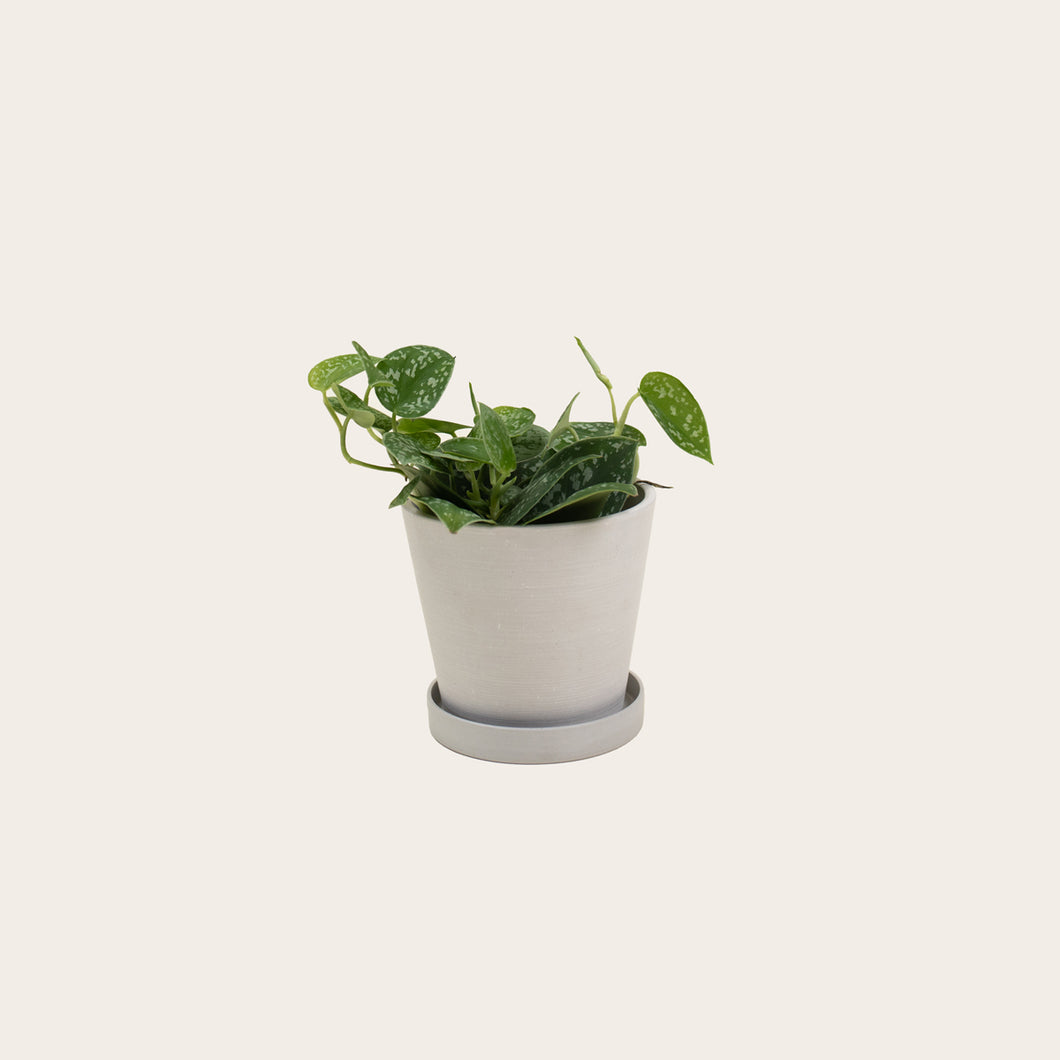 Pothos Silver Satin - Small (chalk)