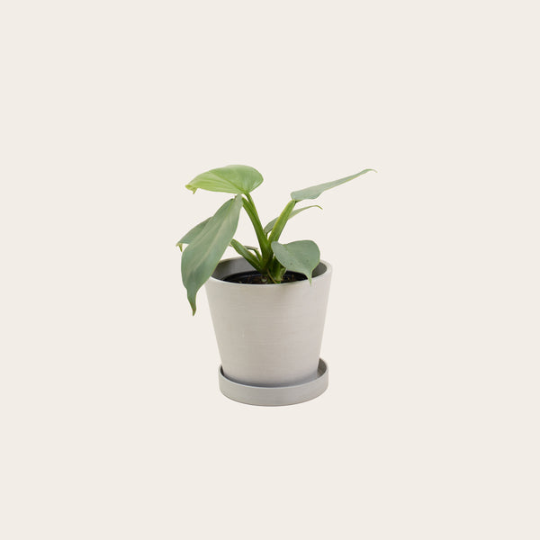 Philodendron Silver Sword - Small (chalk)