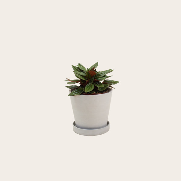Peperomia Rosso - Small (chalk)