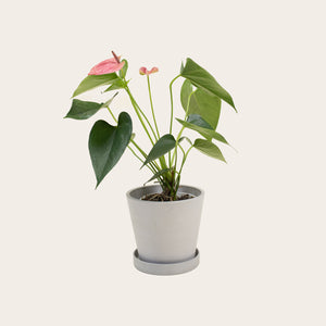 Anthurium - Small (chalk)