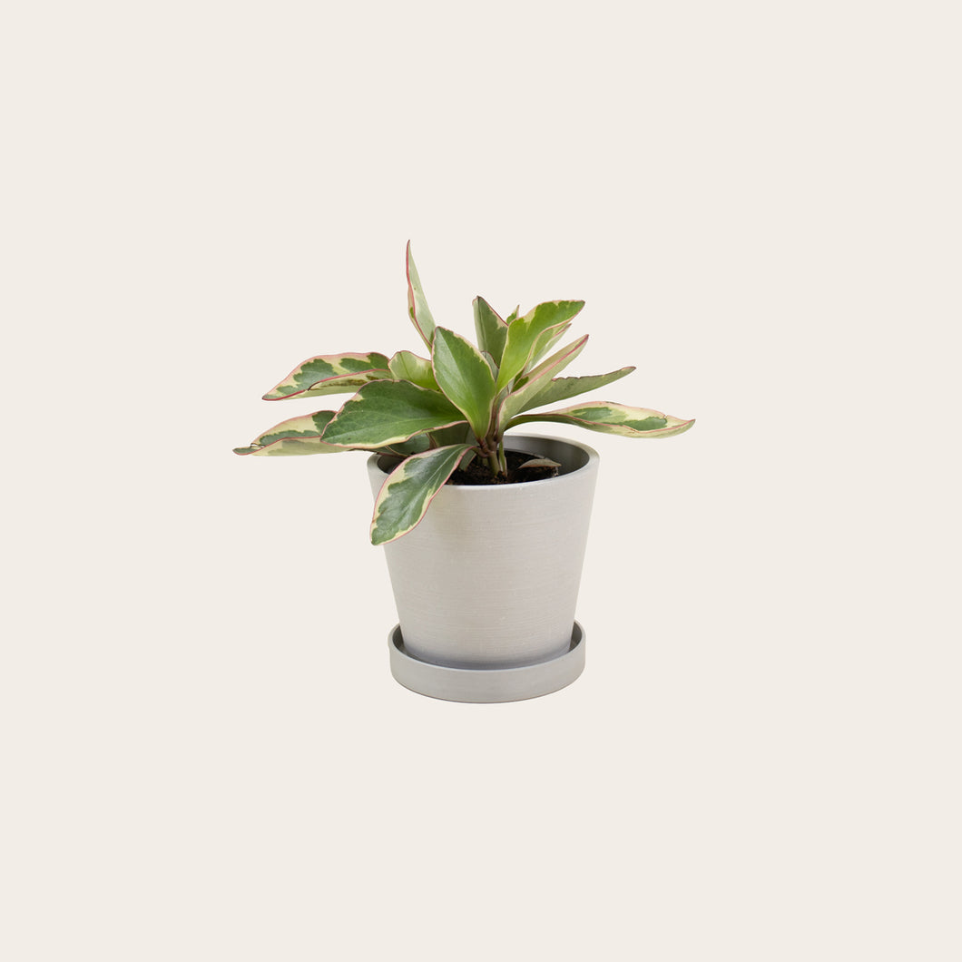 Peperomia Ginny - Small (chalk)