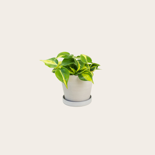 Philodendron Brasil - Small (chalk)