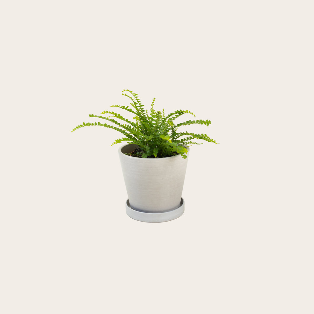 Lemon Button Fern - Small (chalk)