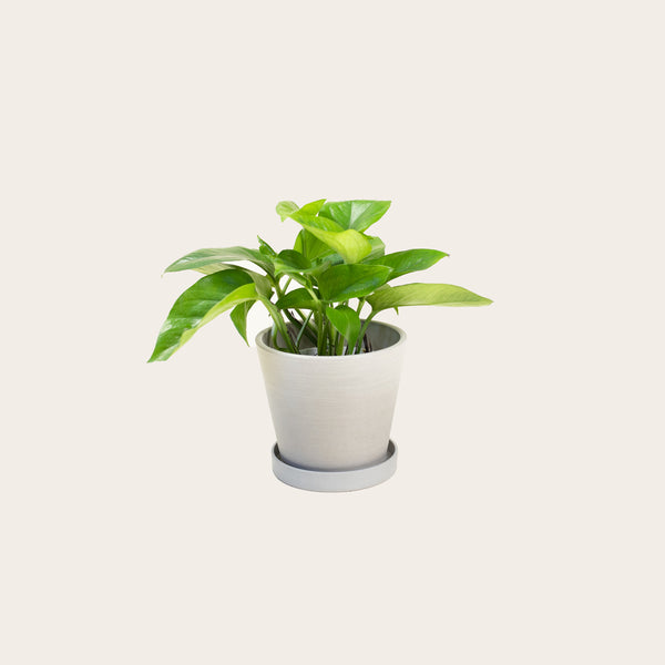 Pothos Green Queen - Small (chalk)