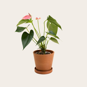 Anthurium - Small (terracotta)
