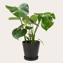 Load image into Gallery viewer, Monstera Deliciosa - Medium (midnight)