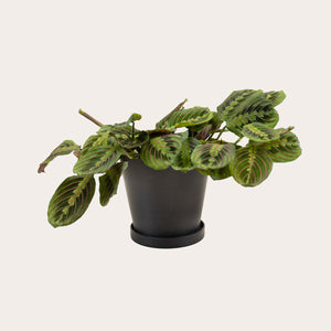 Maranta Red - Medium (midnight)